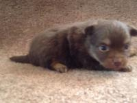 On our website is a lovely litter of Chihuahuas. There