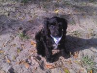 ONLY THIS WEEKEND> PRICE $500.00 Looking for Cockapoo