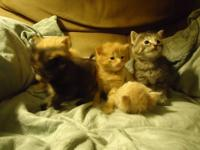 We have five adorable maincoon kittens ready for