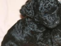 Adorable All Black Female Toy Poodles born 12/25/2014.