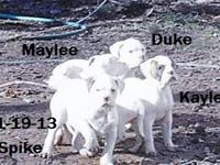 9 wks old born 11-27-12 johnson american bulldog pups 2