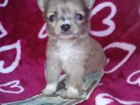 Stunning Apple Head Chihuahua Male.Approx. 31/2 lbs
