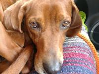 Val is a 58 lb Redbone Coonhound. He is brand new to