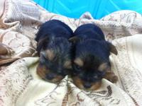 Just in time for Valentines Day! Cute Yorkie Puppies