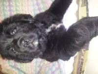 Big beautiful Bernewfie female puppy is looking for a