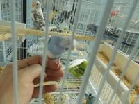 LARGE SELECTION VERY TAME PARAKEETS, LOVEBIRDS,