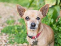 Valentino is a sweet, very shy little dog that is