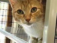 Valerie's story This beautiful Domestic Short Hair is