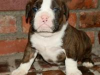 This breed is registered through the IOEBA. The sire is