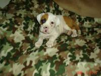 Beautiful Valley Bulldog puppies.Four girls avail.1st