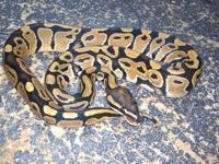 Male Vanilla Ball Python. He eats a rat hopper ever