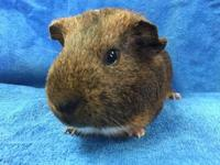 Vanir is a golden agouti, orange & white male American