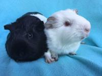 Ulla & Varda are a bonded pair of female American