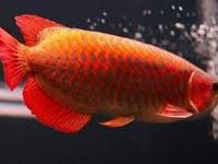 variety of Arowana fishes for sale *Asian Red *Super
