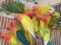 I have a variety of eyering lovebirds. If interested