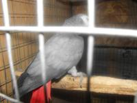 I have seven Congo African Greys, i.e. 31/2 prs(4