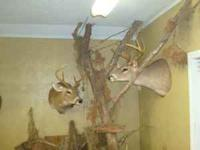 TEN Whitetail Deer Mounts (various positions/sizes).