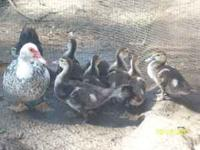 Muscovy Ducks $5 (1st picture) Pekin Trio $40 (male and