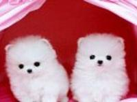 vchf Tiny Teacup Pomeranian Puppies For sale, Akc Reg,