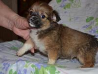 vddg two lovely chihuahua puppies now available