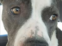 Vega is a young pit bull mix who gave birth to a litter