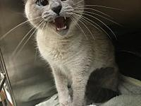 Vega's story Vega is a gorgeous blue point siamese. She