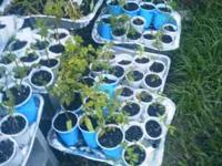 Veggie & Herb Plants for sale .50 - 1.00 Flowering