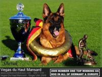 German Shepherd Puppies! DOB: 09/07/2015 Now 4wks, Resv