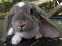 6 beautiful Velveteen Lop babies for sale! The