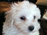 I have two beautiful Maltese puppies, one male and one
