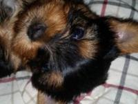 11 week old CKC registered Yorkie pups ready to steal