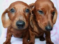 Super Beautiful Mini Dachshund Brothers. Two brothers.
