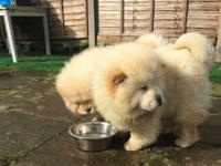 Our stunning Chow Chow girl gave birth 4 beautiful