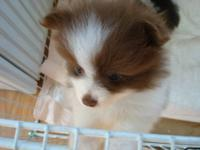 Very Cute 3 female 8 weeks old pomeranian. this an