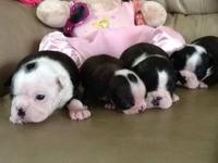 Cute and cuddly ACA registered Boston Terrier puppies.