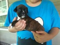 HI I HAVE 1FEMALE AKC REGISTERED BOXER PUPPY. SHE HAS