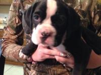 Very cute AKC boxers. Sealed reverse brindle(black). We