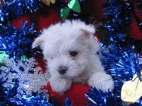 I have two AKC male Maltese they will be ready for