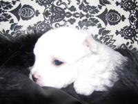 Greetings, I have two male AKC Maltese that will be