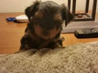 We have One little Male ACK Yorkshire terrier for sale.