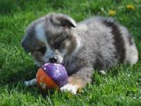 We have a very loveable, blue merle, male puppy for