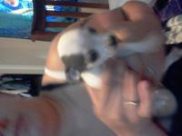I have three chihuahua puppys two females one