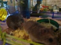 I have 2 very sweet little Male Chinese Dwarf Hamsters