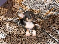 AM REHOMING ONE OF MY FEMALE CHIHUAHUA BECAUSE I HAVE A