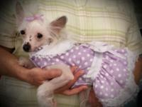 FEMALE CHINESE CRESTED; WHITE WITH LIVER SPOTS; VET