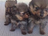 Available now Toy female Pomeranian female born on