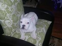 Adorable male Frenchton puppy love kids and other