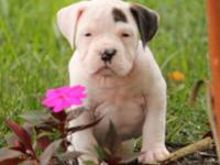 We have olde engish bulldog puppies prepared for new