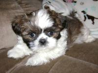 We have a loving, cute, playful little male Shih tzu