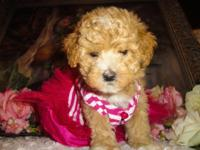 I have 4 maltipoo puppies, they are all friendly and